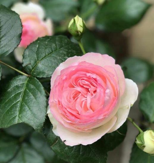 送康乃馨花語代表什么     康乃馨有哪些特別寓意