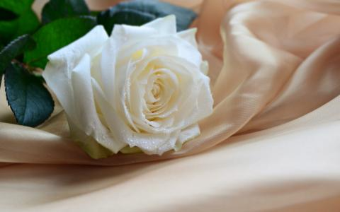 白玫瑰送給什么樣的人 送人白玫瑰是什么意思