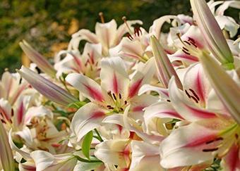 長輩過生日該送什么花 適合送長輩的花