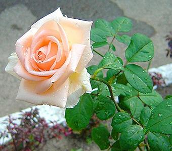 為女生初次送花選什么 初次送的花推薦