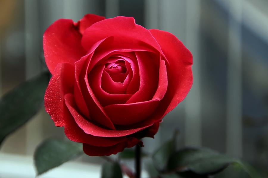 情人节送什么花表示初恋 纯纯的初恋适合这些花
