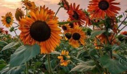 送向日葵代表什么意思 向日葵適合送給誰