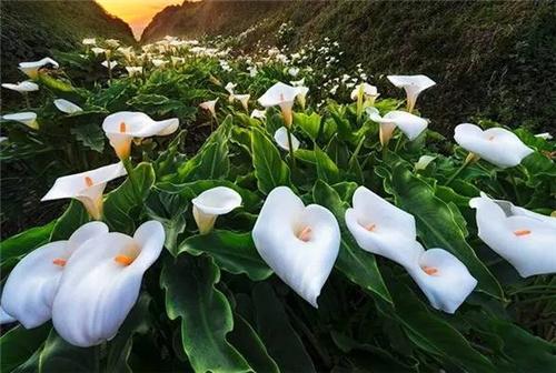 情人節送什么花表示初戀 初戀必備鮮花
