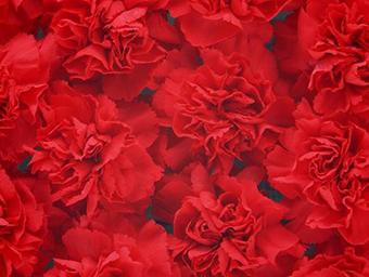 母親節當天送花該選什么 送媽媽的花有哪些