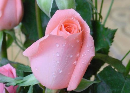 33朵玫瑰花代表什么寓意 33朵玫瑰花語