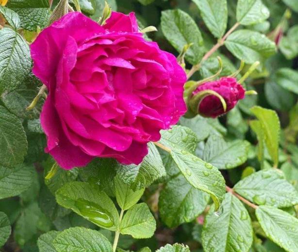 情人節送康乃馨11朵的寓意   康乃馨11枝花語代表什么