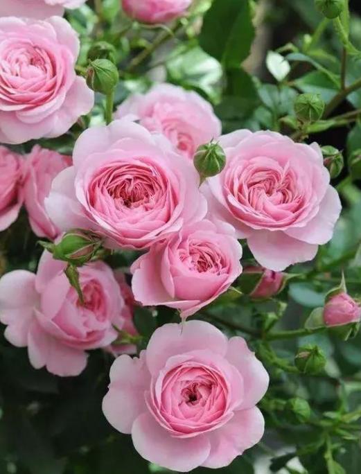 送什么花給女朋友最好    合適情人節送女友的鮮花