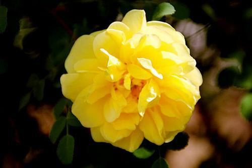 33朵玫瑰花是什么意思 適合送給哪些人
