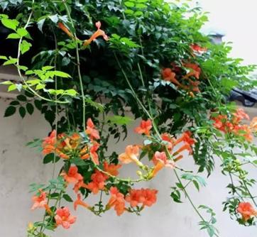 夏天适合种植的花类有哪些 几种花夏天的养护技巧推荐