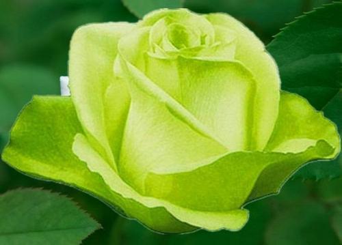 玫瑰花送給什么人 象征哪些寓意