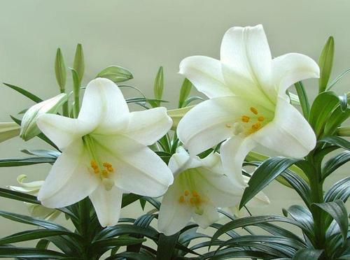 百合花可以送戀人嗎  百合花的寓意
