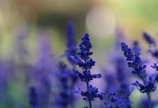 薰衣草花语象征什么含义 薰衣草怎么养护比较好