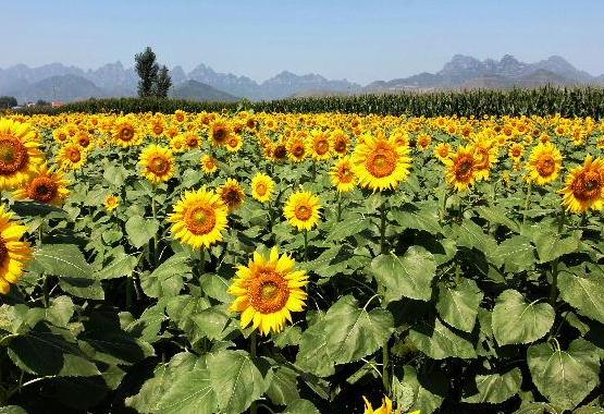 父亲节送父亲15朵向日葵的寓意代表什么