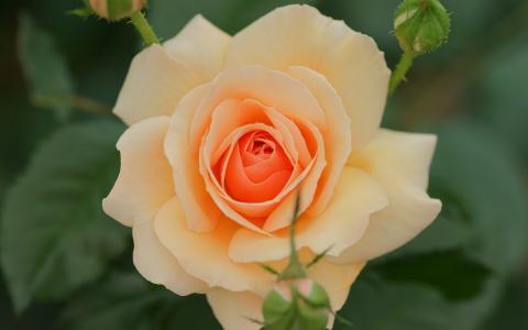 33朵玫瑰代表什么花語 33朵玫瑰送朋友可以嗎