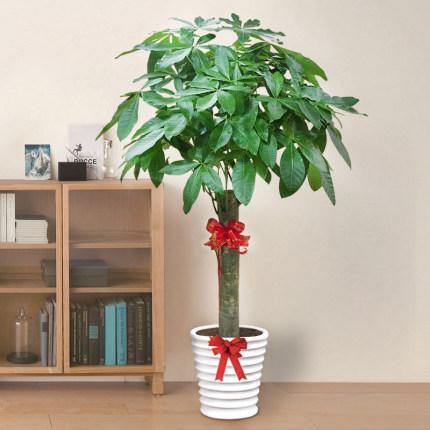 單干1.2-1.4米發財樹綠植