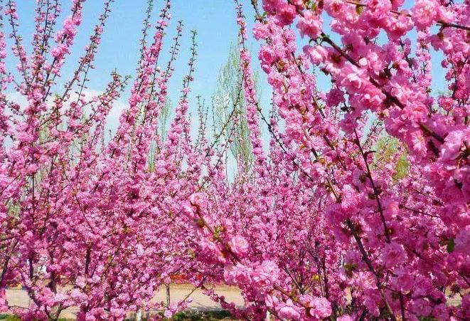 感恩節送19朵粉色康乃馨代表什么意思   有哪些寓意